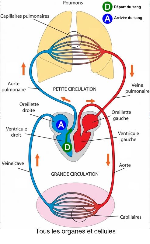 petite et grande circulation sanguine schema